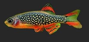 Microfish che passione: Microrasbora  Galaxy (Celestichthys marginatus – Danio margaritatus).