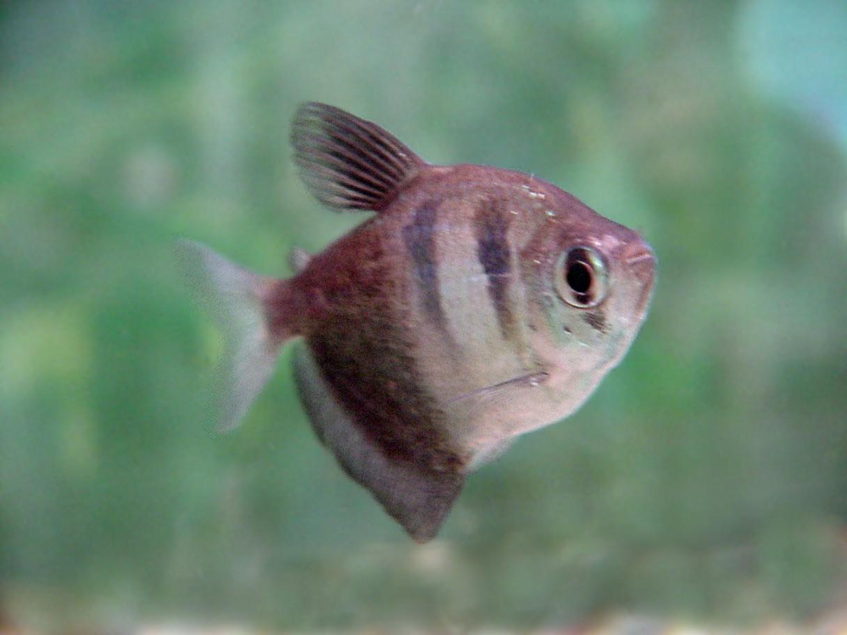 Gymnocorymbus ternetzi – (Tetra Nero): un piccolo Piranha dal cuore d'oro.