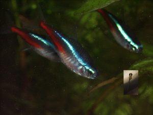 Biologia intima di Paracheirodon innesi: la magica storia dall'uovo all'adulto del pesce più venduto al mondo
