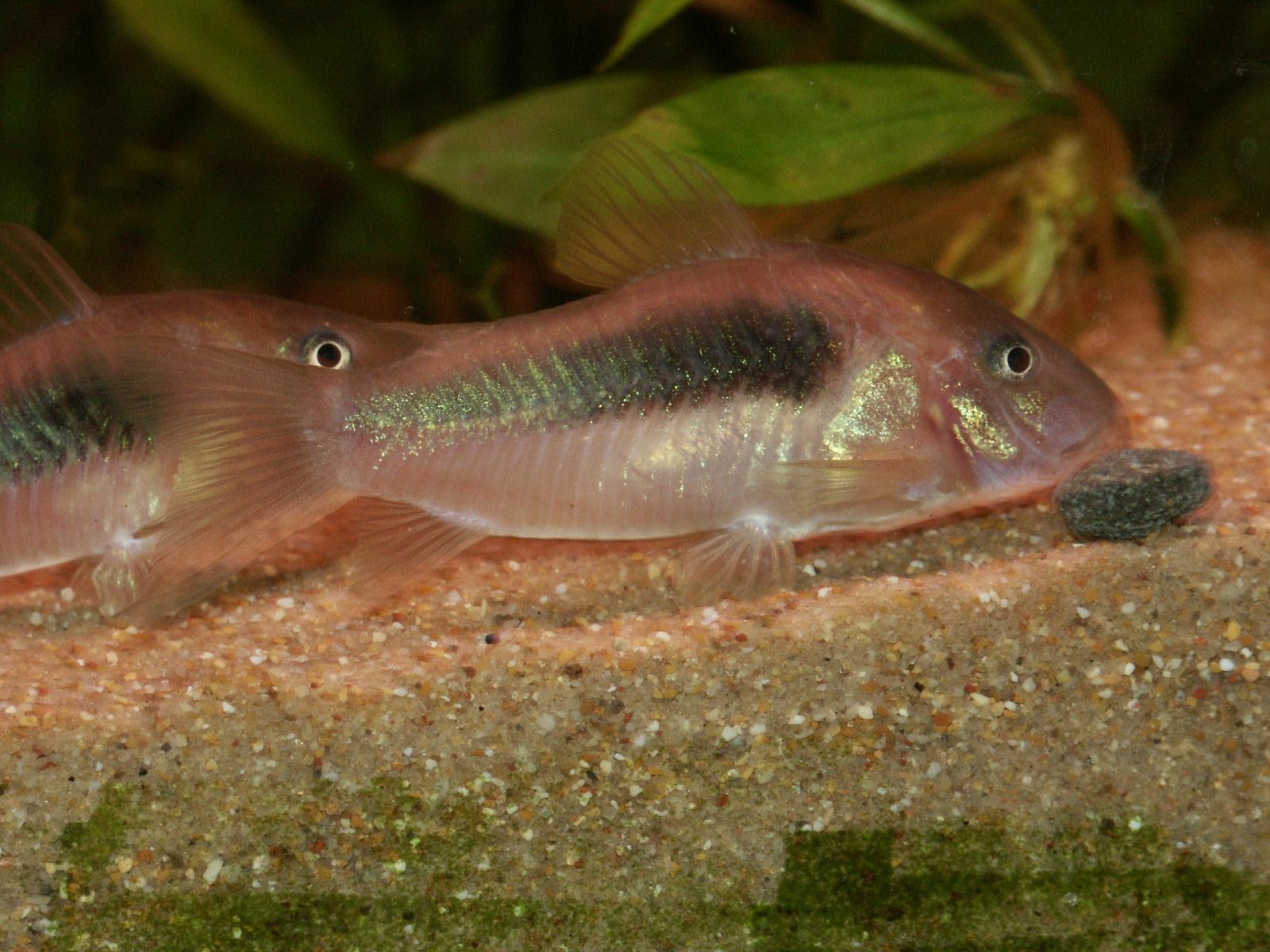 You are currently viewing Corydoras aeneus: non pulitori, ma simpatici baffi con le pinne!!!