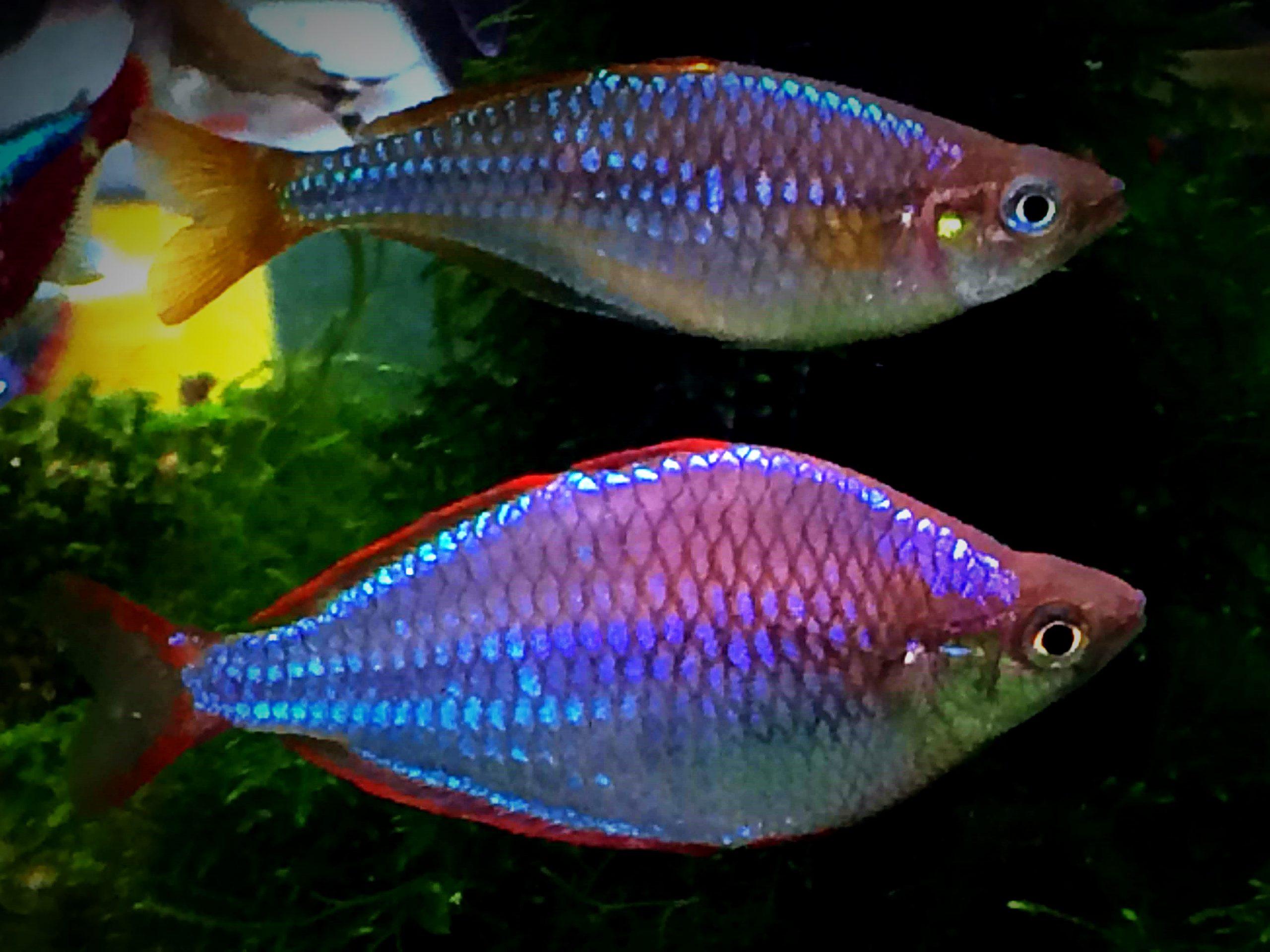Melanotaenia praecox: guizzi di azzurro facili da riprodurre e allevare