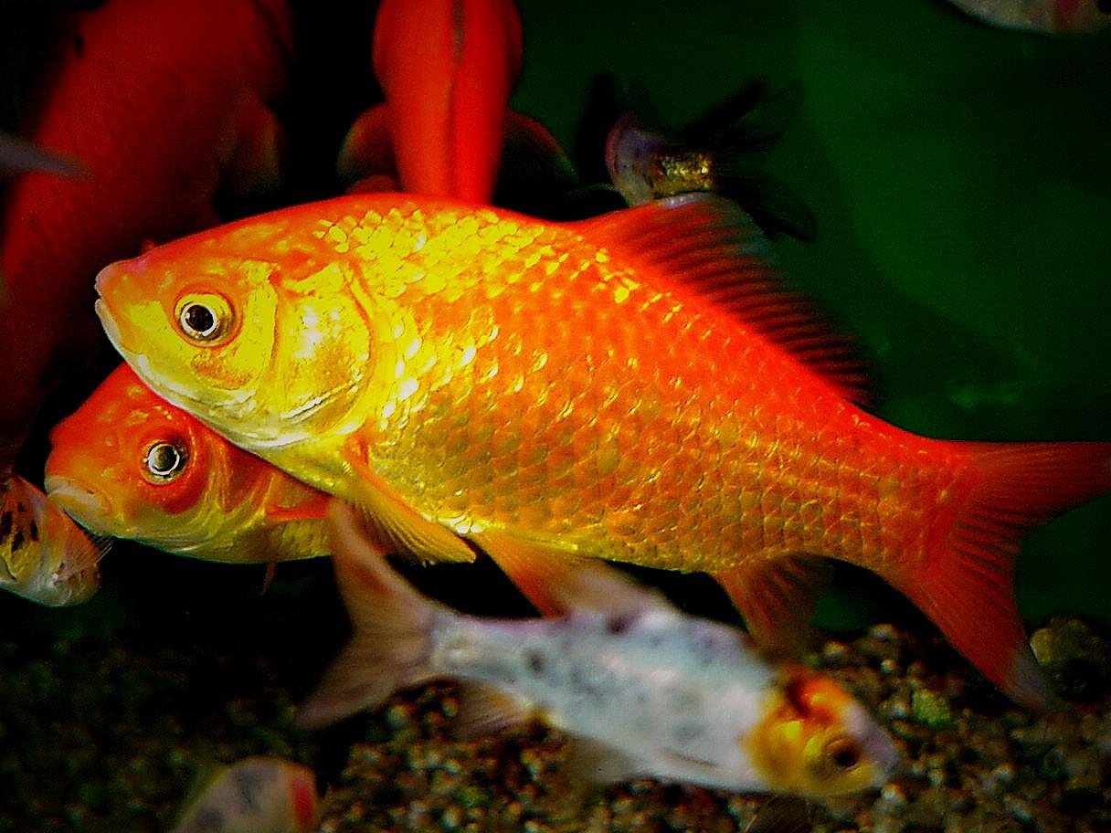 Carassius auratus – il Pesce Rosso, proviamo a volergli bene!