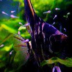 La riproduzione Naturale di Pterophyllum scalare: la meraviglia delle cure parentali